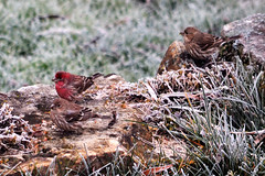 Frost and Finches (sharis snaps) Tags: finch frost housefinch nature november lateautumn