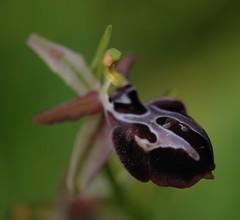 20160324-072F (m-klueber.de) Tags: 20160324072f 20160324 2016 mkbildkatalog griechenland ionische inseln kefalonia südeuropäische mediterrane ostmediterrane flora orchidee orchidaceae ophspru ophrys spruneri spruners ragwurz