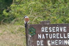 Cherine signpost with Red-backed Shrike.  Lanius collurio (gailhampshire) Tags: redbacked shrike lanius collurio taxonomy:binomial=laniuscollurio
