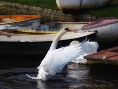 Reach up (Belinda Fewings (3 million views. Thank You)) Tags: stretching dreamy dream swandance white out outside outdoor color colourful colours autumn bbcautumnwatch bbcspringwatch beautiful southofengland southcoast panasoniclumixdmc belindafewings artistic creative creativeartphotography wings reflecting dorset christchurch christchurchquay boats wildlife nature bird swan november
