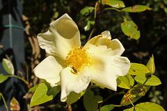 Rosa 'Mermaid' - BG Meise-001 (Ruud de Block) Tags: meisebotanicalgarden nationaleplantentuinmeise jardinbotaniquemeise ruuddeblock rosaceae rosamermaid