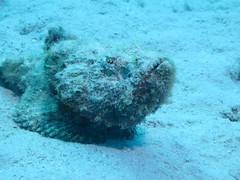 I am ugly (roger_forster) Tags: devilscorpionfish scorpaenidae scorpaenopsisdiabolus diving scuba underwater redsea egypt marsashuna ugly poisonous dangerous