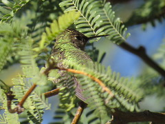 Anna's Hummingbird - Arizona by SpeedyJR (SpeedyJR) Tags: 2016janicerodriguez sweetwaterwetlands tucsonaz annashummingbird hummingbirds birds wildlife nature tucsonarizona arizona speedyjr
