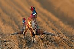 Prova di forza (Zz manipulation) Tags: art ambrosioni zzmanipulation natura forza fagiani uccelli beccarsi sfida lotta colori