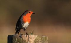 Little Robin Redbreast (Cal Killikelly) Tags: robin