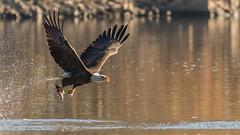 Single Talon Pick (Ken Krach Photography) Tags: eagle