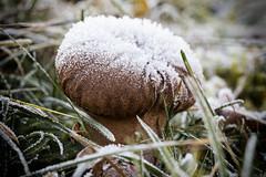 Frosty Fungi (R. Engelsman) Tags: mushroom champignon seta paddenstoel pilz fungi fungo fungus nature outdoor frost rijp winter sigma105mm sigma 105mm canon 650d depthoffield dof macro paddestoel
