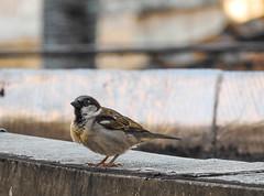 Fim de tarde (Daniel Iceman) Tags: bird animals nature brazil saopaulo sopaulo sp brasil