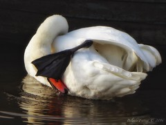 Not looking (Belinda Fewings (3 million views. Thank You)) Tags: river wet ripples autumn neck panasoniclumixdmc belindafewings water black feathers white bird wildlife bbcspringwatch bbcautumnwatch nature notlooking swan november preen one 1 oneswan reflections