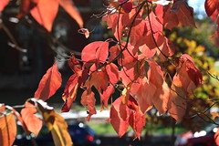 311/365 Dogwood (AluminumDryad) Tags: photoaday pictureaday project365 photochallenge dailypicture tree outdoors autumn fallfoliage dogwood red leaves branch
