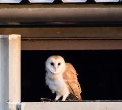2015 AUG 03_4386Barn OwlsBarn Owl juvenile (kc.carol66661) Tags: elements