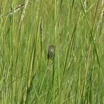 Seaside Sparrow thumbnail
