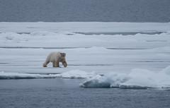 DSC_3461 (stacyjohnmack) Tags: july23 polarbear artic