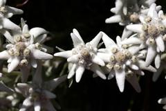 Edelweiss (omefrans) Tags: summer austria hiking ötztal summerholiday