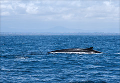 Fear the Fin (Whale) (mjefferson111) Tags: ocean california usa cloud water animal fauna mammal pacific sandiego whale missionbay finwhale
