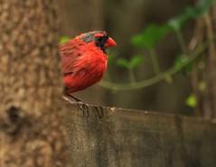 cardinal behind a tree (Anne Davis 773) Tags: male bird cardinal