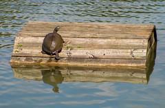 mme. tortue (severalsnakes) Tags: park nature pentax zoom path walk arboretum trail kansas preserve overlandpark ks2 pentaxa702104 saraspaedy