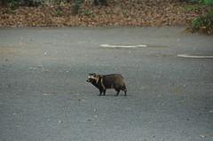 DSC_1507 (My many travels) Tags: japan tokyo shrine shibuya tanuki   raccoon  shinto meiji jingu
