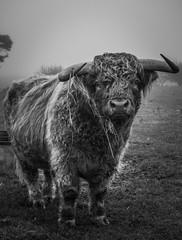 British Bull (Shannon Matthews Photography) Tags: autumn wild blackandwhite naturaleza cute male monochrome beautiful weather animal misty fog nude ma countryside cow cool furry cattle natural outdoor foggy horns fluffy bull highland lincoln mejestic lingcolnshire
