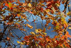 ``` Autumn River Glance ~ I. ``` (Wolverine09J ~ 1 Million + Views) Tags: nature minnesota fallcolors stcroixriver naturesgarden amazingcapture thebeautyofnature doubledragonawards colorphotoawardpremier naturescreations unicornawards blinkagain rainbowofnaturelevel1red autumnrivervista carpenternaturecenterfall riverblufffoliage