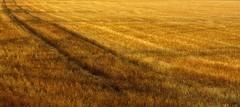 Trail (Eric@focus) Tags: inspiration france beautiful wow ginger nikon pattern champagne diagonal trail crop mow reap nik gradation marking hue soe stubble rut nuance greatphotographers lunaphoto colorefexpro d7100 viveza extraordinarilyimpressive erichuybrechts