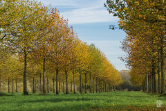 2015-11-08_Q8B4296 © Sylvain Collet.jpg (sylvain.collet) Tags: autumn trees france leaves automne leaf arbres sur feuilles marne vairessurmarne vaires