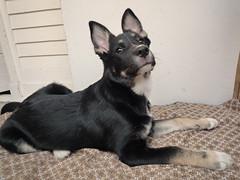 Fili_77 (mikros.anthropos) Tags: dog berlin animal puppy mutt mix husky panasonic hund boxer australianshepherd mixedbreed tier fili mischling welpe hndin dmcfx35