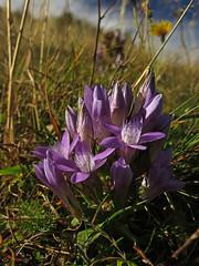 October beauty (aniko e) Tags: wild flower october purple hiking diversity bloom gentian gentianaceae gentianella deutscherkranzenzian gentianellagermanica chilterngentian kranzenzian tárnicska némettárnicska