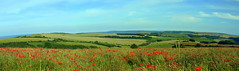 Remembrance (Worthing Wanderer) Tags: southdowns poppies sussex eastsussex nationalpark sunny summer remembrance armistice