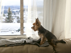 first snow of 2015 (mrs_fedorchuk) Tags: dog pet snow yorkie norway norge friend terrier firstsnow scandinavia yorkshireterrier trondheim sørtrøndelag 2015 skandinavia sortrondelag byåsen ugla middlenorway byasen midtnore