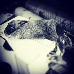Bun buns (The Happy Aspie) Tags: blue pet cute rabbit bunny feet silver serious fluffy resting rare houserabbit silverfox dewlap notdinner heritagebreed silverfoxrabbit houserabbitintraining