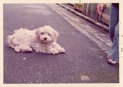 Adorable puppy on the street (.Violet Rose.) Tags: street color japan puppy photography snapshot vernacular anonymous