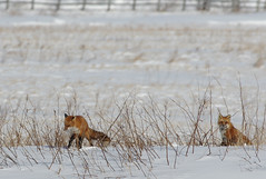 Winter Red fox - the couple (Natimages) Tags: winter fox wildanimals redfox foxcouple da3004 pentaxk5