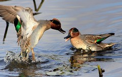 Teal Trouble (Ger Bosma) Tags: duck teal ducks fighting attacking teals anascrecca eurasianteal commonteal wintertaling alzavola sarcelledhiver krickente cercetacomn patoaliverde 2mg143772a