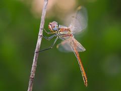 macho con gotitas (Santi BF) Tags: macro bug insect dragonfly bicho liblula insecte insecto sympetrum sympetrumfonscolombii libllula odonato
