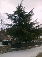 Conifre (Gilbert-Nol Sfeir Mont-Liban) Tags: christmas schnee winter lebanon snow tree plante weihnachten hiver cedar neve fir neige nol albero abete inverno extrieur arbre sapin liban tannenbaum mountlebanon cdre cedro conifre montliban kesserwan