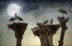 IMG_6834 The longest night (pinktigger) Tags: italy moon bird texture nature italia er nest stork cegonha cigea friuli storch ooievaar fagagna cicogne cicogna oasideiquadris feagne