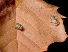 Two Baby Frogs on Leaf (hardmile) Tags: baby nature water beauty creek forest outdoors babies wildlife magic amphibian frog frogs amphibians