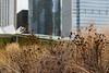 Urban Prairie (sandro.giulio) Tags: city urban chicago field landscape milleniumpark prairie pritzkerpavilion chicagoarchitecture luriegarden aquatower