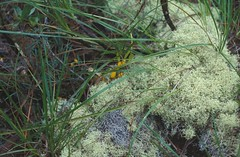 "Angavokely Lichen, Lucile_054.jpg • <a style=""font-size:0.8em;"" href=""http://www.flickr.com/photos/134534957@N02/23998984855/"" target=""_blank"">View on Flickr</a>"