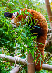 Red Panda Munching (JKmedia) Tags: animal zoo tail bamboo redpanda climber captivity stripy 2015 blackpoolzoo ailurusfulgensfulgens boultonphotography