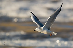 Bonaparte's Gull (_BirdsTheWord_) Tags: lake nature water flying bokeh gull sparkle carlyle 70d canonef40056l