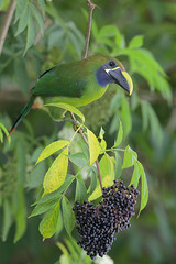 Emerald Toucanet (Greg Lavaty Photography) Tags: emeraldtoucanet aulacorhynchusprasinus costarica october bird nature wildlife berries toucan