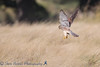 Richmond Pard Kestrel 28 September 2016_-24.jpg (Steve Nelmes Photography) Tags: cameragear uk kestrel londonparks birdofprey london canon14xteleconverter royalparks canon1dxmark2 birds wildlife stevenelmesphotography richmondpark raptor avian canon100400ismk2