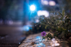 IMG_2350 (Lens a Lot) Tags: paris | 2016 voigtlnder septon 50mm f2 1962 5 blades iris dkl mount bokeh flower weed depth field vintage street photography night light closeup flare bubble drop rain water manual fixed length prime lens germany bessamatic