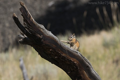"""Chipmunk • <a style=""""font-size:0.8em;"""" href=""""http://www.flickr.com/photos/63501323@N07/29567122554/"""" target=""""_blank"""">View on Flickr</a>"""