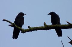 Two crows (Dendroica cerulea) Tags: americancrow corvusbrachyrhynchos corvus corvidae corvoidea passeri passeriformes psittacopasserae eufalconimorphae aves bird birds crow corvid autumn donaldsonpark highlandpark middlesexcounty nj newjersey fav10