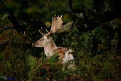 Buck Fallow Deer.(Explored) (spw6156 - Over 6,560,030 Views) Tags: buck fallow deer iso 640 copyright steve waterhouse summerwatch explored
