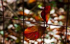 IMG_0002_2 Forgotten Fence (oldimageshoppe) Tags: fenceline woods leaf fall colors