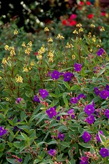 Golden thryallis and purple flowered princess flower. (UGA College of Ag & Environmental Sciences - OCCS) Tags: uga ugaextension ugacollegeofagriculturalandenvironmentalsciences